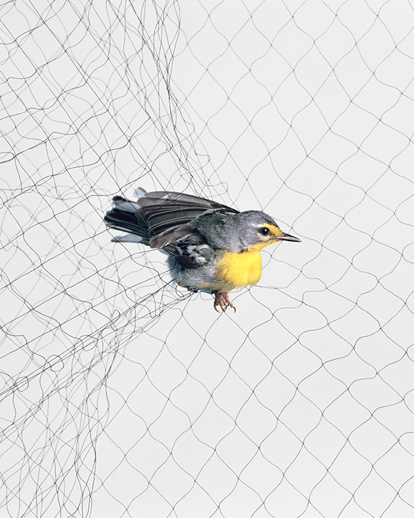 Small bird caught in a net